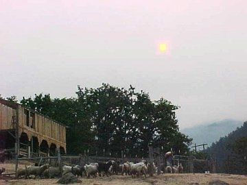 haze as the goats go to pasture
