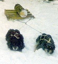 man harness for log hauling